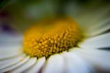 23rd June 2015  daisy