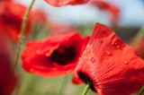 12th July 2015  last poppies