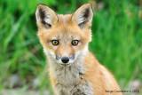 renard_fox