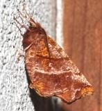 6817, Selenia alciphearia, Northern Thorn