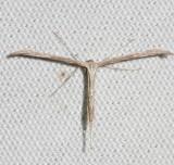 Plume Moth sp.