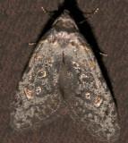 2319, Bondia crescentella, Crescent-marked Bondia