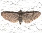 7459, Epithecia columbiata, Columbia Pug