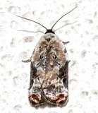 3510, Acleris nivisellana, Snowy-shouldered Acleris