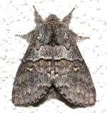 7933, Gluphisia  avimacula, Four-spotted Glyphisia