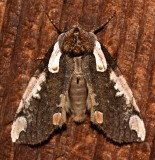 6240, Euthyatira  pudens, Dogwood Thyatirid