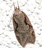 0912, Semioscopis packardella, Packard's Semioscopis
