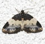 7307, Mesoleuca ruficilata, White-ribboned Carpet
