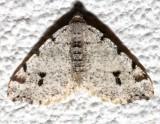 6348, Macaria fissinotata, Hemlock Angle