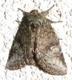 7994, Heterocampa guttivitta, Saddled Prominent