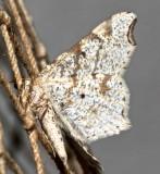 6342, Macaria bisignata, Red-headed Inchworm