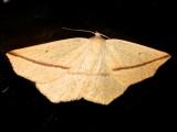 6963, Tetratris crocallata, Yellow Slant-line