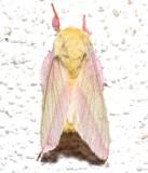 7715, Dryocampa rubicunda, Rosy Maple Moth