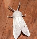 8137, Spilosoma virginica, Virginia Tiger Moth