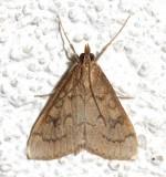 5079, Udea rubigalis, Celery Leaftier