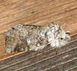 7998, Lochmaeus manteo,  Variable Oakleaf Caterpillar Moth