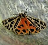 8197, Grammia virgo, Virgin Tiger  Moth