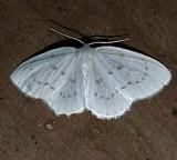 6253, Eudailinia hermintata, Northern Eudeilinia