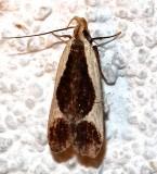 2295, Dichomeris flavocostella, Cream-edged Dichomeris