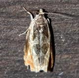 2800, Olethreutes nigranum