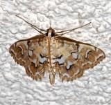 4748, Elophila icciusalis, Pondside Crambid