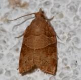 3593, Pandemis lamorosana, Wood-grained Leafroller