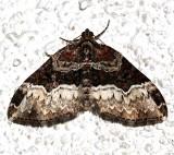 7399, Euphyla intermediata, Sharp-angled Carpet