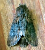 7958 ,Gray-patched Prominent