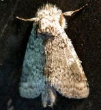 7998,, Lochmaeus manteo, Variable Oakleaf Caterpilllar Moth