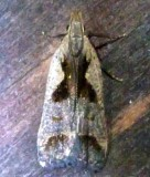 2291, Dichomeris bilobella