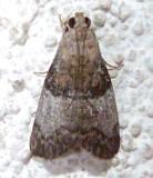 5606, Pococera asperatella, Maple Webworm