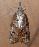 3740, Platynota idaeusalis, Tufted Apple Bud Moth