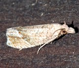 3120, Eucosoma derelicta, Derelect Eucosoma