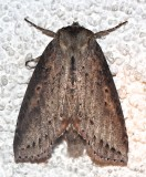 6237, Pseudothyatira cymatophoroides, Tufted Thyatrid
