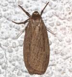8045.1, Crambidia pallida,  Pale Lichen Moth