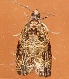 2817, Olethreutes permundana, Raspberry Leafroller