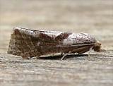 3116.1, Eucosoma similaria