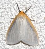 8230, Cycnia tenera, Delicate Cyenia