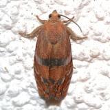 3494, Clydia latiferreana, Filbert Worm Moth