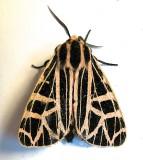 8196, Grammia parthenice, Parthenice Tiger Moth