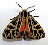 8196, Grammia parthenice, Parthenecie Tiger Moth