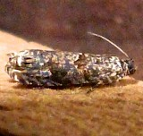2701, Episimus argutaria, Sumac Leaftier Moth