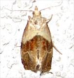 3807, Phalonidia lepidana