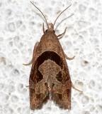 3116.1, Eucosoma similiana, Similar Eucosoma