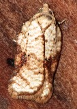 3514, Acleris cervinana,