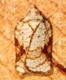 3514, Acleris cervinana