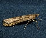 5156, Nomophila nearctica, Lucerne Moth