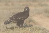 Greater Spotted Eagle (Aquila clanga) Juvenile