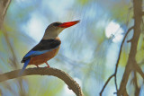 Grey-headed Kingfisher (Halcyon leucocephala ssp.semicaerulea )