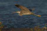 Western Reef Egret (Egretta gularis)